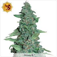 Barney's Farm Seeds Honey B Feminized