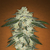 FastBuds Seeds Green Crack Auto Feminised (PICK N MIX)
