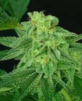 Critical Mass Collective Seeds Super Mutant Mass Feminized