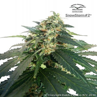 Dutch Passion Seeds SnowStrom #3 Auto Feminized