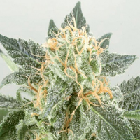 De Sjamaan Seeds Widow Ryder Auto Feminised