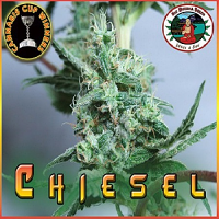 Big Buddha Seeds Chiesel Feminized