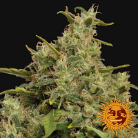 Barney's Farm Seeds Sweet Tooth Feminized
