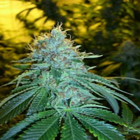 Reserva Privada Seeds The OG #18 Feminised