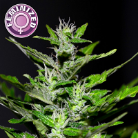 Kera Seeds Gelato Feminized (PICK N MIX)