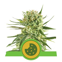 Royal Queen Seeds Royal Cookies Automatic Feminized (PICK N MIX)