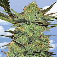 Flying Dutchmen Seeds G-Force Feminized