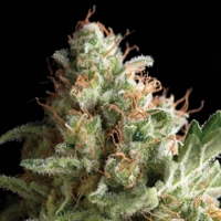 Pyramid Seeds Pipi Feminized (PICK N MIX)