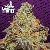 Blue Kush Berry - Feminized - Chong's Choice - Paradise Seeds
