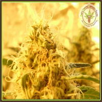 Dr Krippling Seeds Mango Mist Shake Feminized (PICK N MIX)