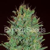 Amnesia Haze – Feminized – Expert Seeds