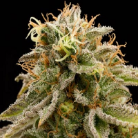 Humboldt Seed Organisation Lemon Thai Kush Feminised