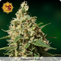 Barney's Farm Seeds Peppermint Kush Feminised