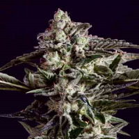 SuperCBDx Seeds NYC Diesel x SCBDx Feminized