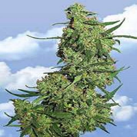 Flying Dutchmen Seeds Nepal Kush Feminized