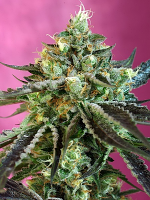 Sweet Seeds Sweet Nurse Auto CBD Feminized