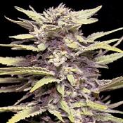 Blueberry Gum - Feminized - G13 Labs