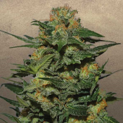 Green Crack – Feminized – Garden of Green