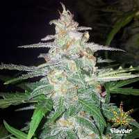 Flavour Chasers Seeds Forbidden Glue Feminized