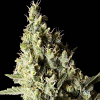 BlimBurn Seeds Narcosis Feminized