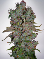 Ministry of Cannabis Seeds Auto Blueberry Domina Feminized