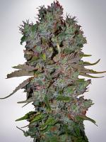 Ministry of Cannabis Seeds Auto Blueberry Domina Feminized