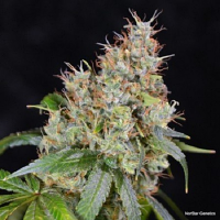 NorStar Genetics Seeds Amnesia O.G. Regular