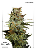 Dutch Passion Seeds AutoBlueberry Feminized