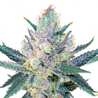 Bulk Seeds Blue Stilton Feminized