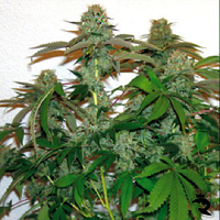 Barney's Farm Seeds 8 Ball Kush Feminized