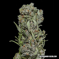 Kalashnikov Seeds White Critical Express Feminized