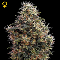 Green House Seeds Sweet Mango Auto Feminised