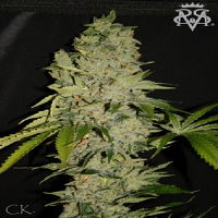 SickMeds Seeds Wonder's Kush Regular