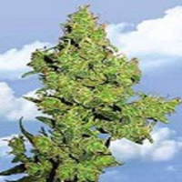 Flying Dutchmen Seeds Flying Dragon Feminized
