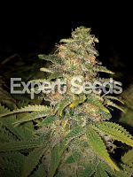 Expert Seeds Critical Blue Auto Feminized