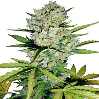 White Label Seed Company Super Skunk Automatic Feminized