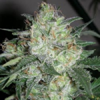 Cali Connection Seeds OGiesel Feminised