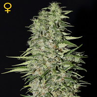 Green House Seeds Diamond Girl Feminized