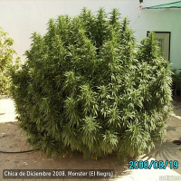 Eva Seeds Monster Feminized