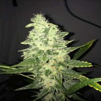 Nirvana Seeds Supreme CBD Kush Feminized