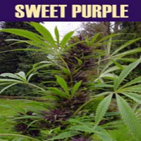 Paradise Seeds Sweet Purple Feminised