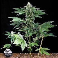 Dinafem Seeds Roadrunner Auto Feminized