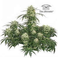 Dutch Passion Seeds The Ultimate Feminized