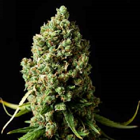 Spliff Seeds Amnesiac Feminized (Gold)
