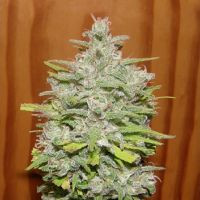 Dr Underground Seeds Crystal M.E.T.H Feminized