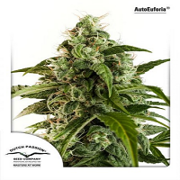 Dutch Passion Seeds AutoEuforia Feminised