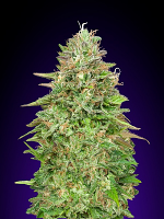 OO Seeds Critical Poison Fast Version Feminized