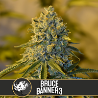 BlimBurn Seeds Bruce Banner #3 Feminized