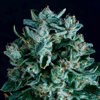 SuperCBDx Seeds Diesel x SCBDx Feminized