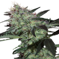 Seedmakers Seeds Super Diesel Feminized